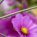 Raindrops on a Cosmos Stem, 10.25.21