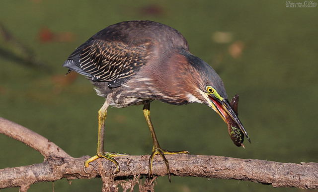 Green Heron with Tadpole