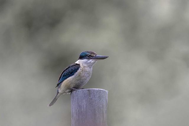 New Zealand native Kingfisher _MG_6204