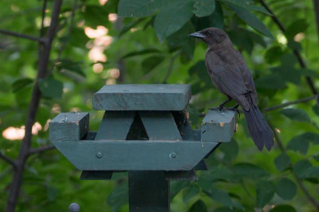Quiscale noir, Quiscalus niger, Québec, Canada - 06017