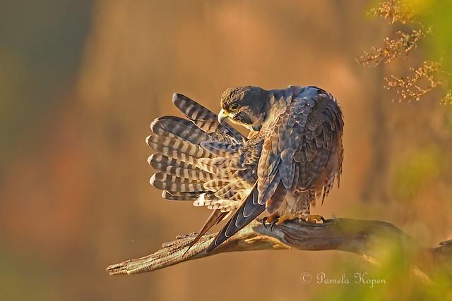 Autumn sunrise - Pergrine falcon