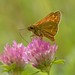 Feeding Large Skipper Butterfly