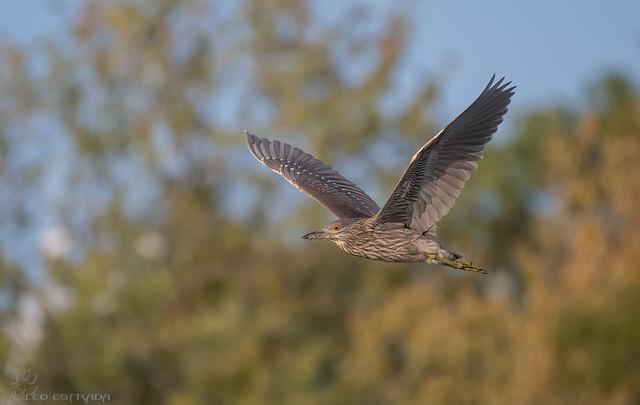 Juvenile Black-crowned Night-Heron.