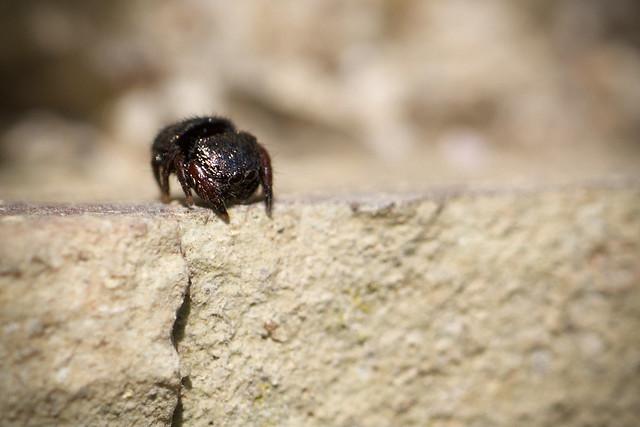 Salticidae, Napoca constanzeae