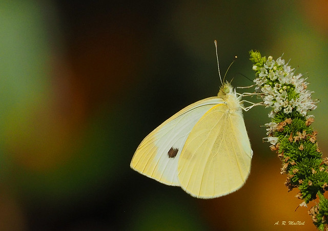 Late Summer Butterfly - Vancouver, British Columbia