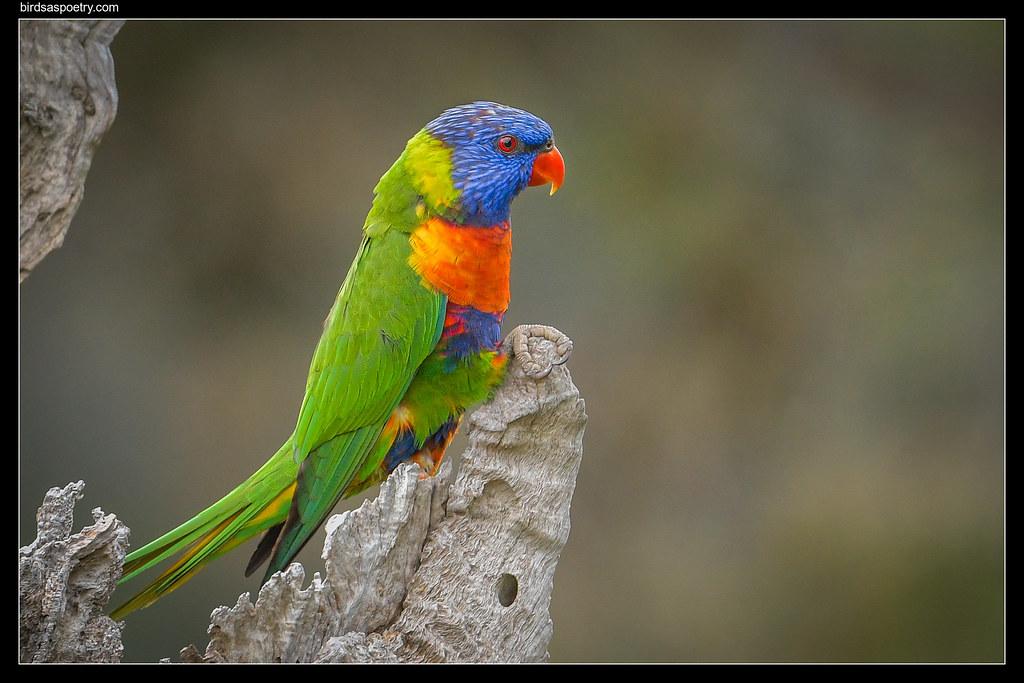 Rainbow Lorikeet: Prospective Tenant