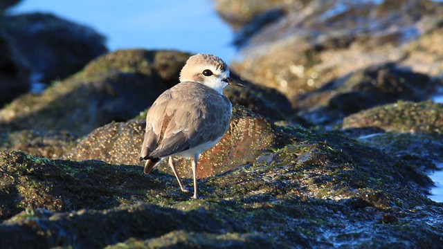 Snowy Plover / Pluvier neigeux ( Richard )