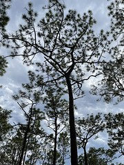 Pinus palustris overall picture