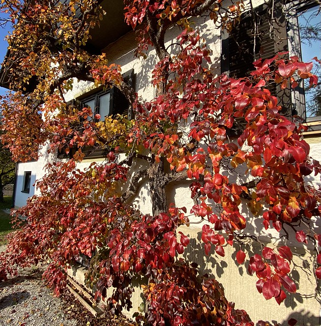 Espalier pear tree in autumnal red