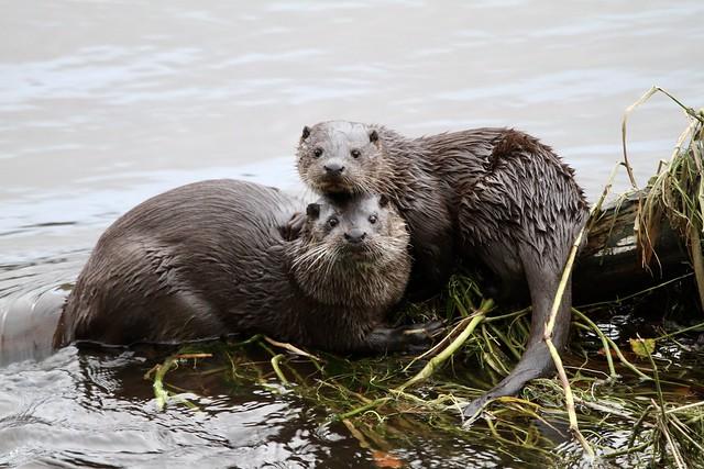 Otter motherly love!