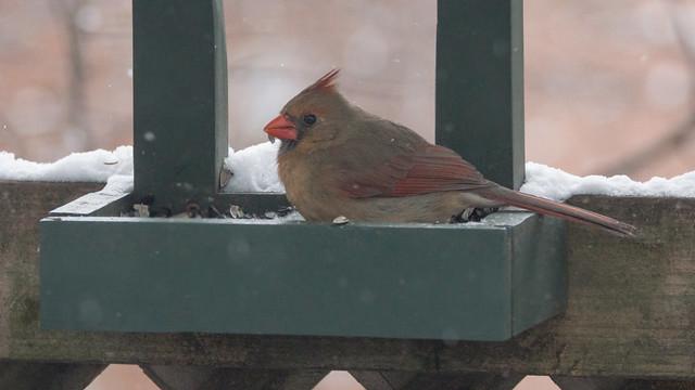 Cardinal rouge femelle - Northern Cardinal - Québec, PQ, Canada - 04388