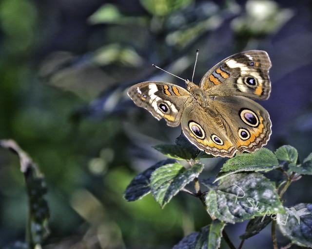 butterfly in the garden   10-9-21_013