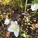 Changing of the seasons, the last Dahlia and first hellebore