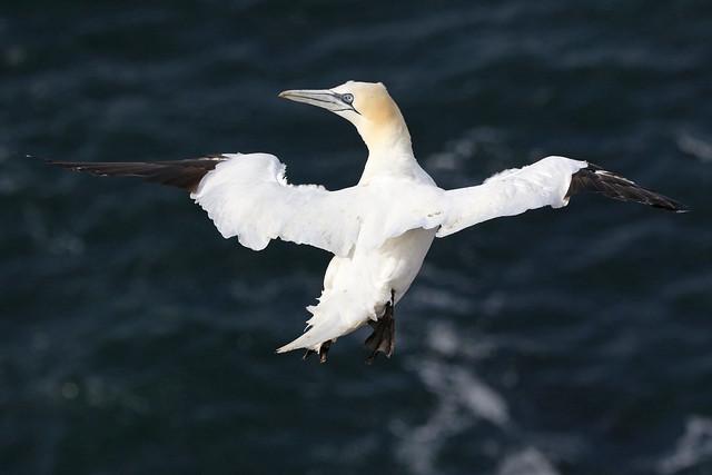 Gannet in the wind