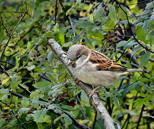House Sparrow --- Haussperling