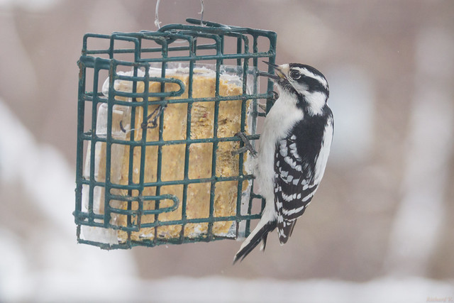 Pic mineur - Downy Woodpecker, Québec, PQ, Canada - 04360