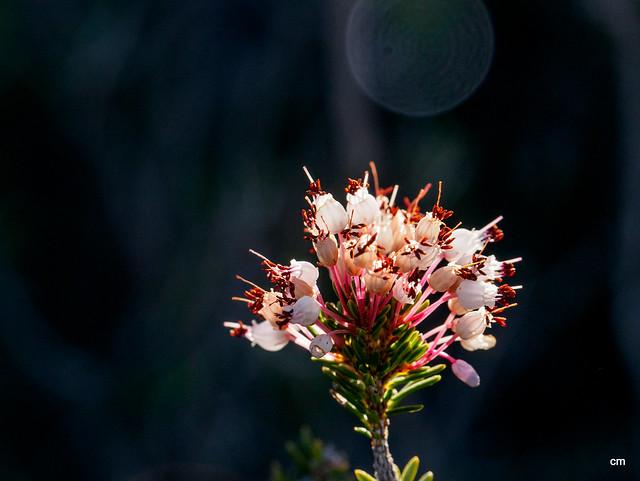 flor de bruc