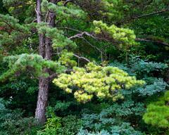 Pine Near Dundo Overlook