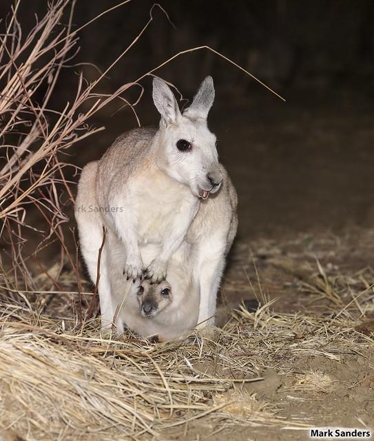 Onychogalea unguifera (Northern Nailtail Wallaby)