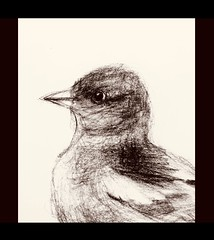 Finch. Graphite pencil drawing by jmsw on card