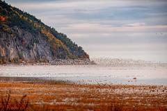 Migration des oies des neiges au Cap Tourmente