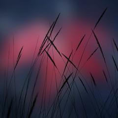 Wheat Of Dreams