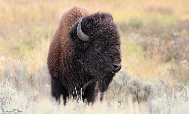 Wild American Bison