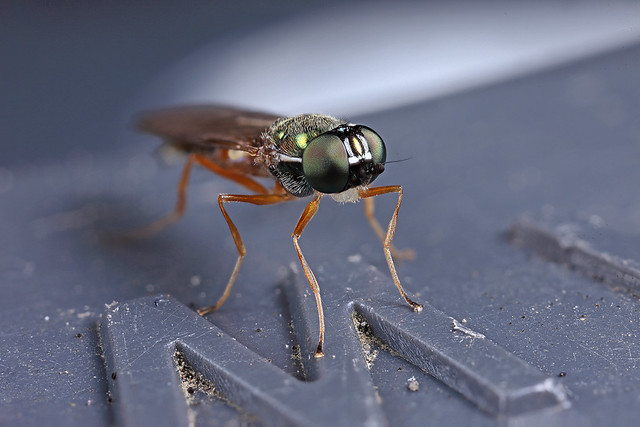 Autumn soldier fly