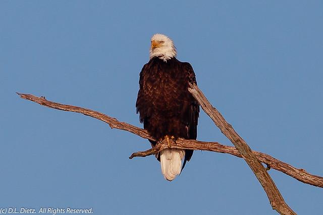 Bald Eagle #22 - 2019-05-05
