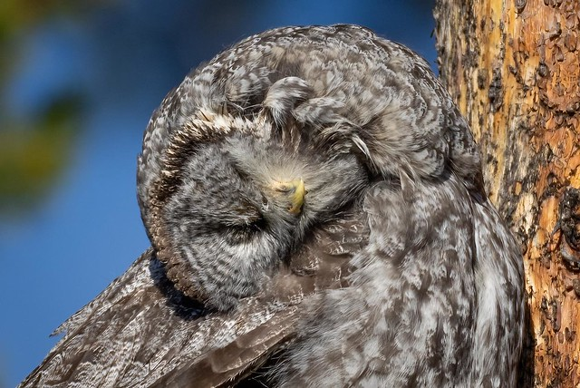 Wait, what? A great gray owl doing... something. Yellowstone National Park. October, 2021