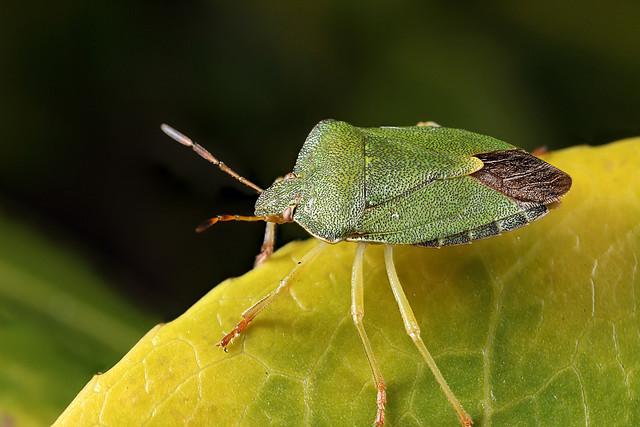 Green shieldbug #1