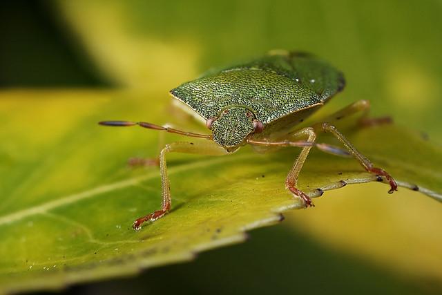 Green shieldbug #2