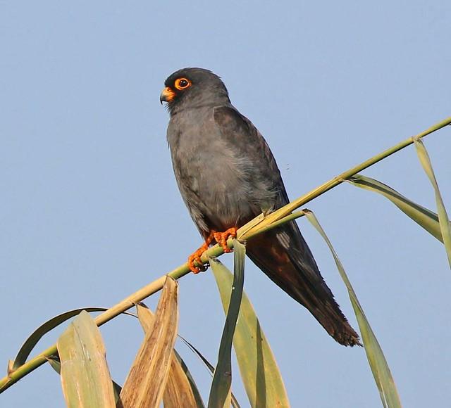 Red-footed Falcon, Akrotiri Marsh, Cyprus.