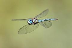Blue-eyed Hawker Dragonfly