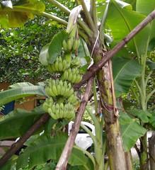Banana #16: