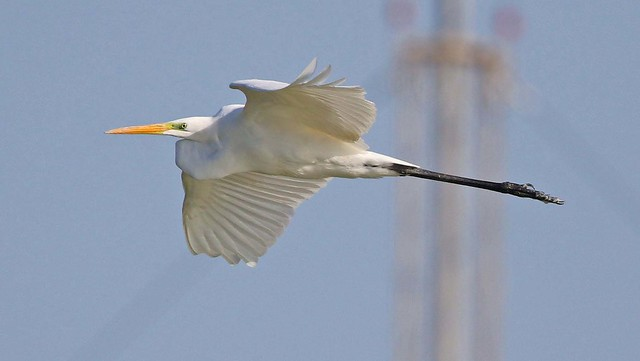 Hope I don't get into trouble for this photo of a Great Egret, the army hassle us all the time about not taking photos of the Ariel's, Oooooppppppssss if I don't post for a long time you will know where I'am.