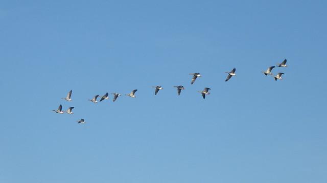 Geese in flight, Heegermeer