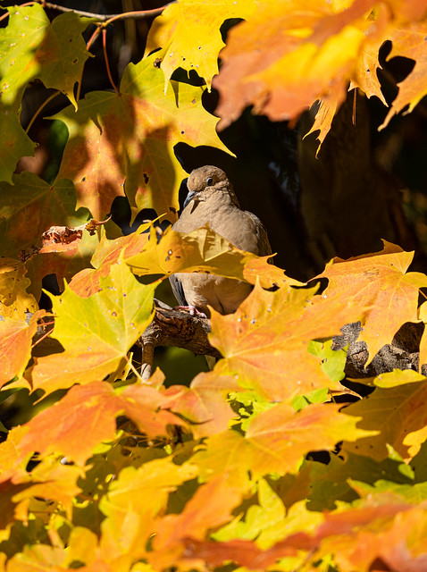 Mourning Dove hidden amongst the fall foliage..