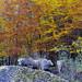Otoño en Selva de Oza (Valles de Hecho). Pirineo aragonés