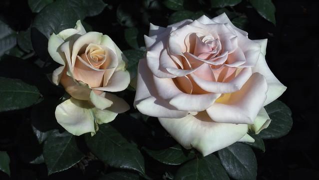 Rose Pair - C95-4-26-09_21212