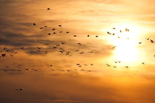 birds waterfowl canadagoose brantacanadensis maryland sunrise animalsgallery unitedstates galleries environment princegeorgescounty uppermarlboro weather animals merklewildlifesanctuary geocity geo:country=unitedstates camera:make=nikon exif:isospeed=800 camera:model=nikond90 geostate exif:model=nikond90 exif:lens=7003000mmf4556 exif:make=nikon exif:aperture=ƒ40 exif:focallength=270mm nature md wildlife aves animalia anseriformes conservation science restoration partnership chesapeakebayprogram december