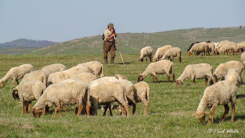 Transhumant Shepherd on watch