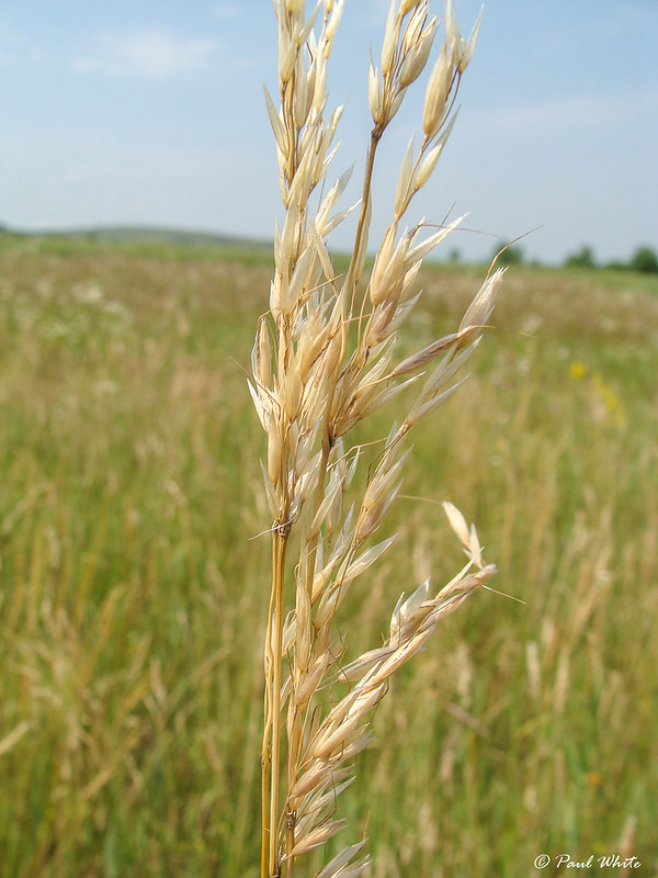 False oat grass - Tall oat grass - Tall meadow oat