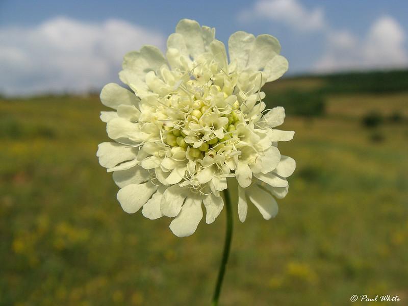 Cream Pincushions
