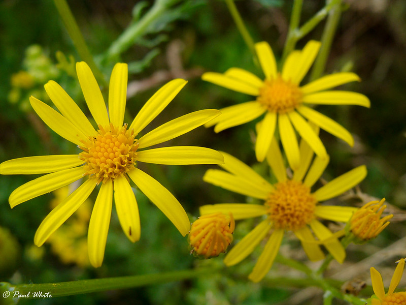 Common Ragwort - Ragweed - Tansy Ragwort - Staggerweed - Stinking Willie