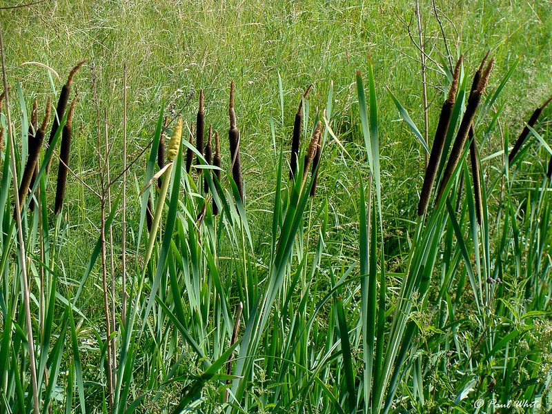 Cat tail - Reedmace - Bullrush