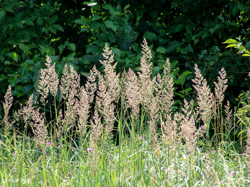 Chee Reed Grass