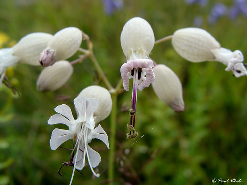 White Campion | by p_aulwhite