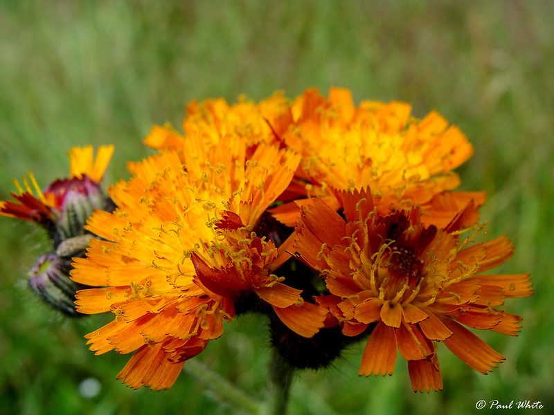 Fox-and-cubs - Orange Hawkweed - Tawny Hawkweed - Devil's Paintbrush - Grim-the-collier