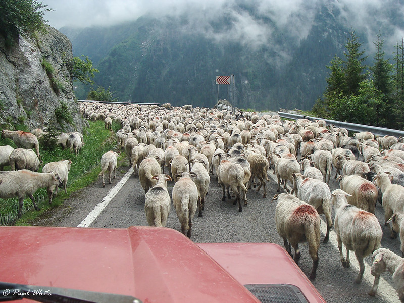 Sheep flock - Transfagarasan Highway